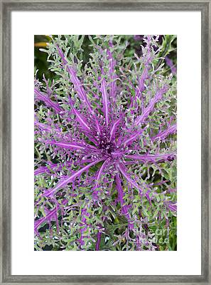 Ornamental Kale Red Peacock Framed Print by Tim Gainey