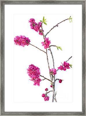 Ornamental Peach  Framed Print