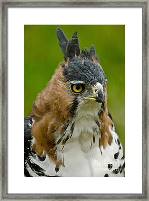 Ornate Hawk Eagle Framed Print