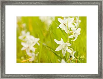 Ornithogalum Nutans Pretty Bloom Framed Print by Arletta Cwalina
