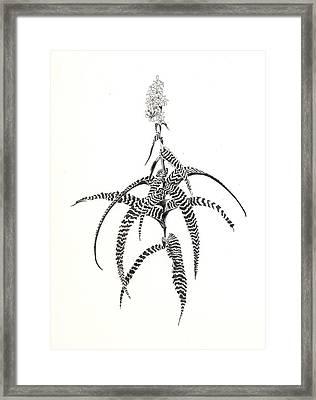 Orthophytum Gurkenii Framed Print