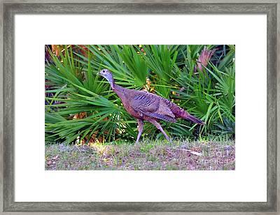 Osceola Wild Turkey At The Babcock Ranch Preserve Framed Print by Sherri Hubby