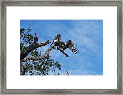 Osprey - Pandion Haliaetus Framed Print by Denis Blofield