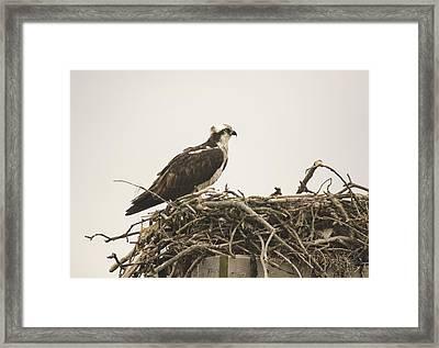 Osprey 1 Framed Print