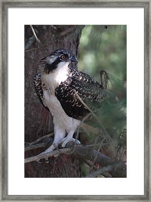 Osprey 40 Framed Print by Joyce StJames