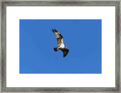 Osprey 5 Framed Print