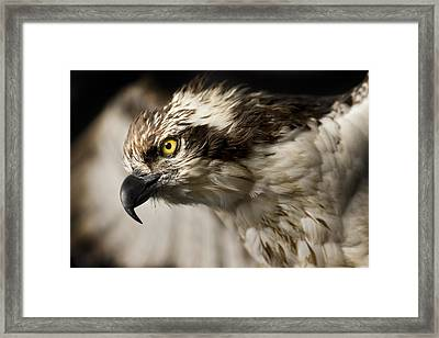 Osprey Framed Print by Adam Romanowicz