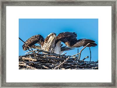 Osprey Alert Framed Print