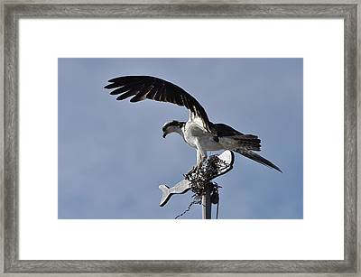 Osprey And Whale Framed Print by Gerald Hiam