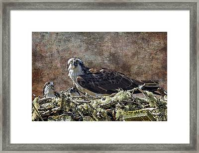 Osprey And Young - Feeding Framed Print by Belinda Greb
