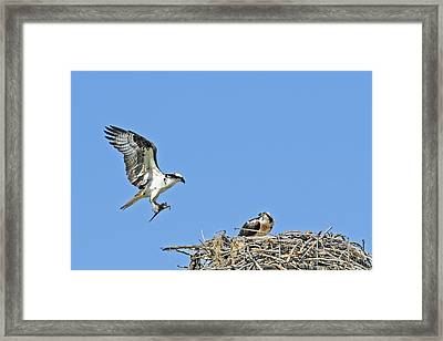 Osprey Brings Fish To Nest Framed Print
