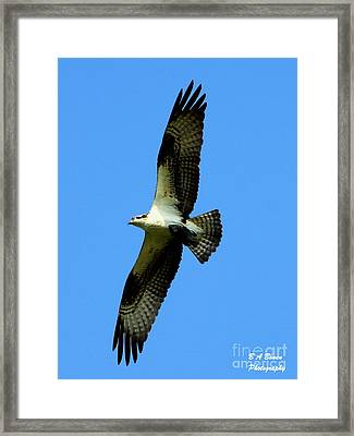 Osprey Carrying A Fish Framed Print by Barbara Bowen