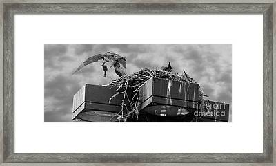 Osprey Carrying Fish To Nest Framed Print
