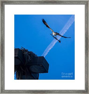 Osprey Carrying Stick To Nest Framed Print