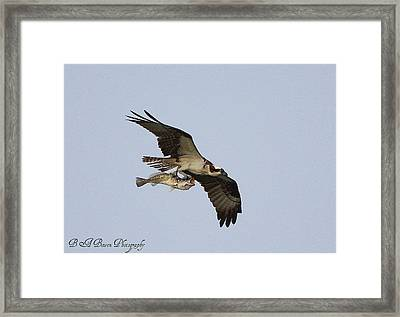 Framed Print featuring the photograph Osprey Catches A Fish by Barbara Bowen