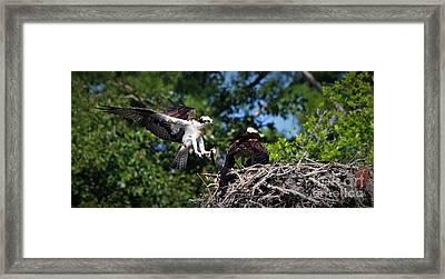 Osprey Dad Bringing Home Dinner Framed Print