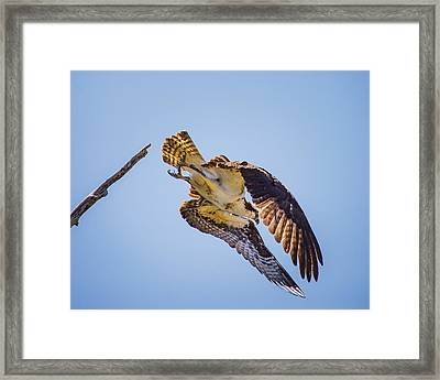 Osprey Dive Framed Print by Janis Knight