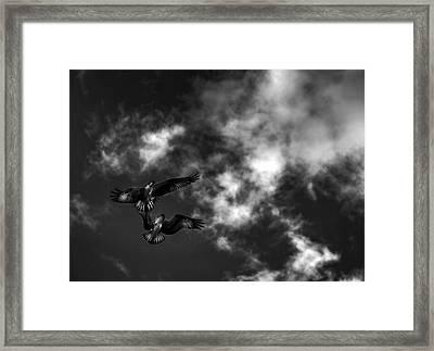Osprey Dog Fight In Black And White Framed Print