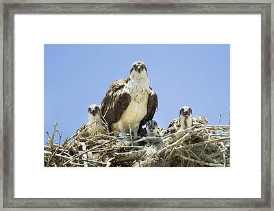 Osprey Family Portrait Framed Print