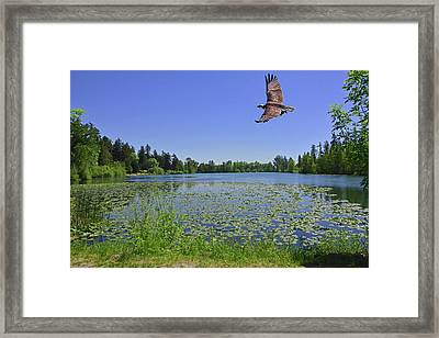 Osprey Fishing At Wapato Lake Framed Print