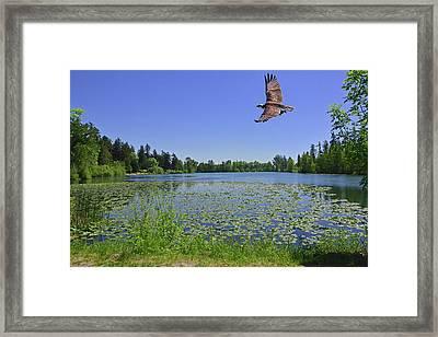 Osprey Fishing At Wapato Lake Framed Print
