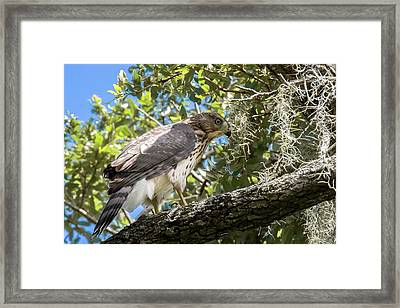 Red-shouldered Hawk Fledgling - 4 Framed Print