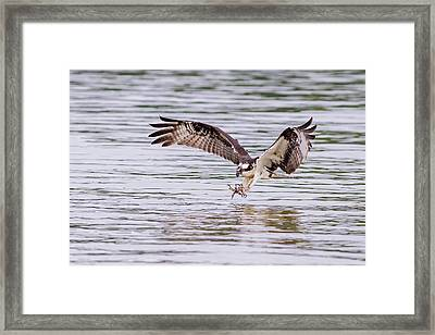 Framed Print featuring the photograph Osprey Going For Breakfast by Lori Coleman