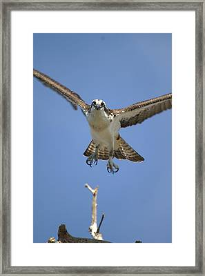 Osprey Head On Framed Print by Jack Norton