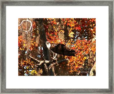 Osprey In Fall Framed Print by Theresa Willingham