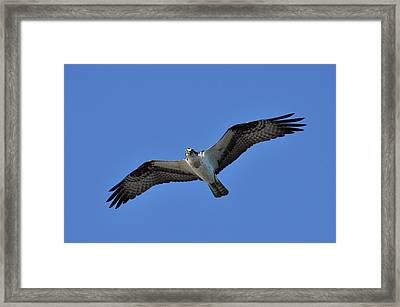Osprey In Flight 2 Framed Print