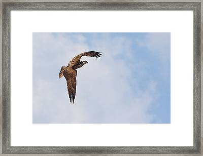 Framed Print featuring the photograph Osprey In Flight by Bob Decker
