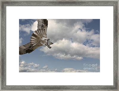Osprey In Flight Framed Print by Wildlife Fine Art
