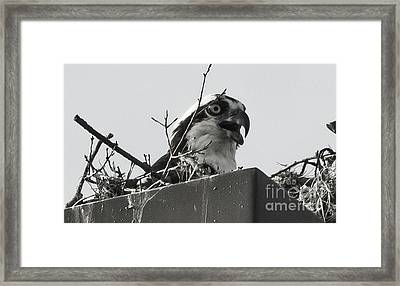 Osprey In Nest Framed Print