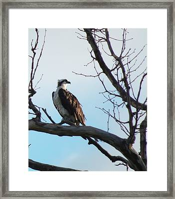 Osprey In Tree Framed Print