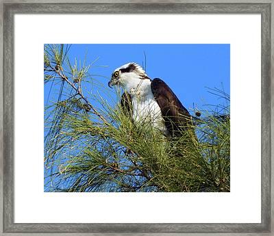 Osprey In Tree Framed Print
