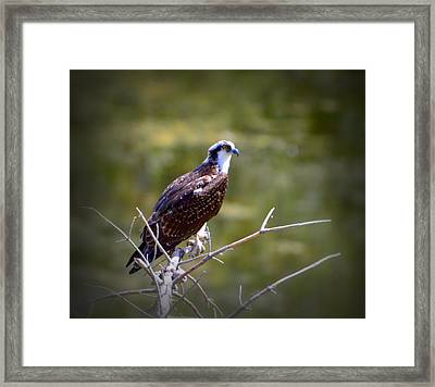Osprey In Wait Framed Print