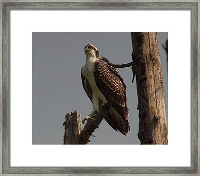 Osprey Framed Print by John Adams