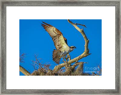 Osprey Landing On Branch Framed Print
