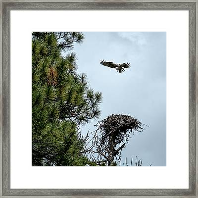 Osprey Landing On Nest Framed Print by Mary Lee Dereske