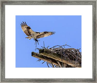 Osprey Nest Building Framed Print