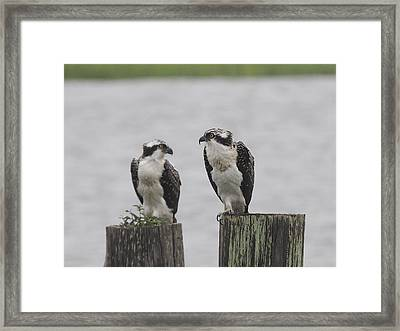 Osprey On Nj Shore 2014 Framed Print