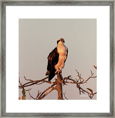 Osprey On The Caloosahatchee River In Florida Framed Print by Louise Heusinkveld