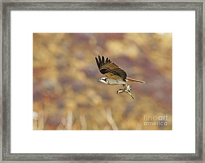 Osprey On The Wing With Fish Framed Print by Dennis Hammer
