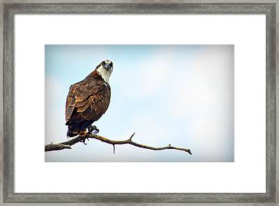 Framed Print featuring the photograph Osprey Out On A Limb by AJ Schibig
