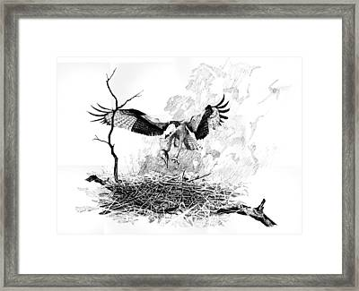 Osprey Framed Print by Paul Illian