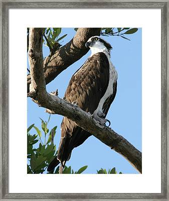 Osprey - Perched Framed Print by Jerry Battle