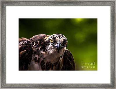 Osprey Profile 2 Framed Print