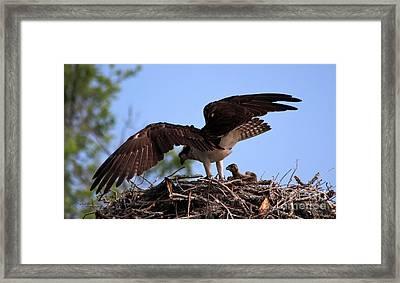 Osprey Protecting Her Babies Framed Print