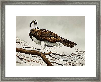 Osprey Sea Hawk Framed Print