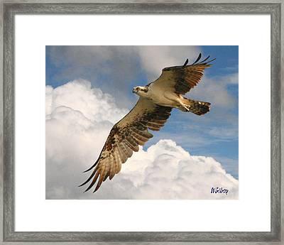 Osprey / Sea Hawk Framed Print by W Gilroy